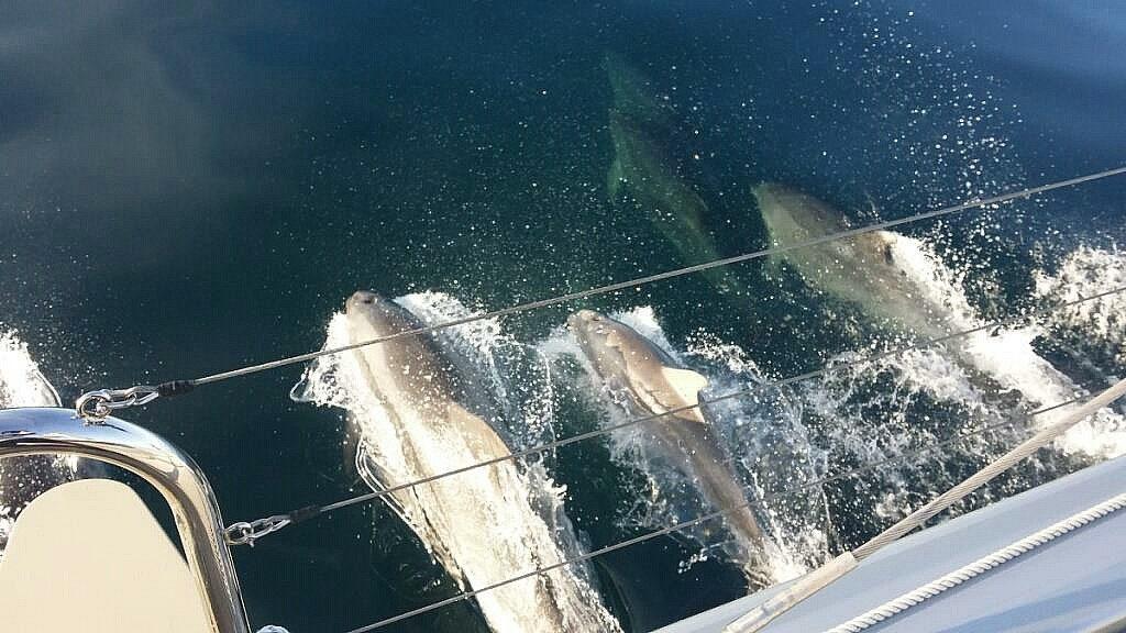 Delfin Schule schwimmt mit