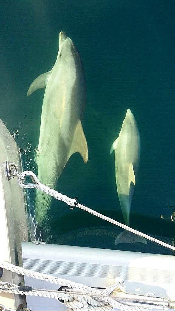 Ausgewachsener Delfin mit Babydelfin